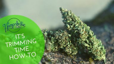 ✂️ How To Trim Your Hemp CBD